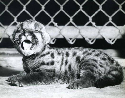 Shasta I as a baby - 1947