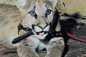Shasta - UH Cougars official mascot