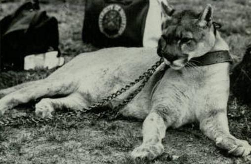 shasta the cougar
